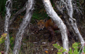 An exotic fox in Mornington Peninsula National Park with Mange.