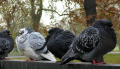 Feral Rock Pigeons are common pests in public spaces in cities