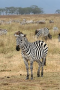Zebras are several species of African equids (horse family) united by their distinctive black and wh
