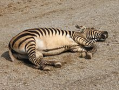 Hartmann's mountain zebra resting, showing its characteristic essentially unbarred belly