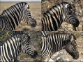 Variation in coat pattern in zebras. The patterns show progressively more black left to right and to