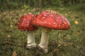 Death cap (Amanita phalloides) is New Zealand's most poisonous toadstool – and one of the most poiso