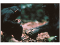 In the Tai Forest a female chimp demonstrates a skill once thought to be unique to humans. Here she