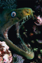 The moray eel meets its energy and nutrient needs by being an effective predator.