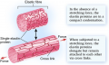 Elastic fibres are made of elastin, one type of structural protein found in the ECM of animal cells