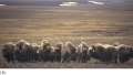 Muskox populations remain in the Arctic all year, though they migrate to higher elevations in the wi