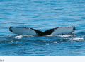 Unique markings identify individual humpback whales.