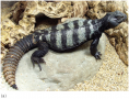 Male individuals of the banded Uromastyx, Uromastyx flavofasciata, are different colours. Most natur