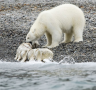 Polar bears feed upon a number of marine mammals. They are currently at the centre of international