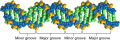 A space-filling model of the DNA double helix