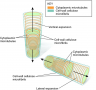 The direction of plant cell expansion is controlled by microfibrils and microtubules. Plant cells en