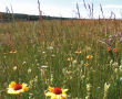 Large numbers of plant species can flower at once in this grassland in Kinsella, Alberta.