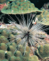 The sea urchin Diadema on a coral reef. Feeding by Diadema appears to play a key role in the interac