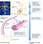Structure and basic function of a typical vertebrate neuron and associated glial cells.