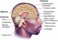 Major structures of the human brain.