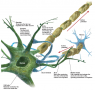 structures of the Neuron