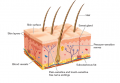 Cross Section of Skin and Free Nerve Endings