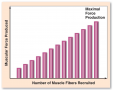 Muscle Fiber Recruitment and Muscular Force