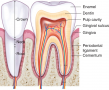 A diagrammatic section through a typical adult tooth.