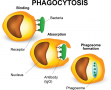 The process of phagocytosis: a phagocyte engulfing bacteria or other foreign material.