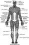 The major skeletal muscles—anterior superficial view.